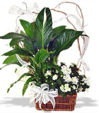 Azalea & Peace Lily Basket - by Avante Gardens Florals Unique