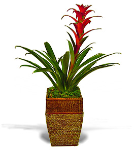 Bromeilad Plant Tropical Plant Delivery Orange County Ca