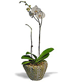 Phalaenopsis Orchid in a Basket