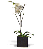 Phalaenopsis Orchid in a Ceramic Cube