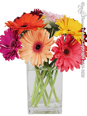 Twelve Bright & Colorful Gerbera Daisies