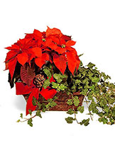 Poinsettia and Ivy Basket Avante Gardens by Everyday Flowers