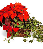 Poinsettia and Ivy Basket